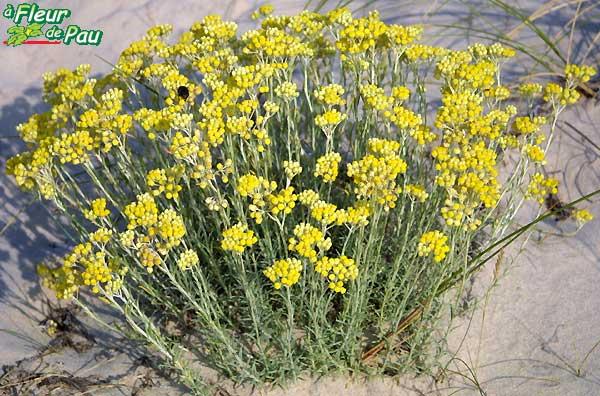 Immortelle Ou Immortelle Commune Ou Immortelle Jaune Helichrysum
