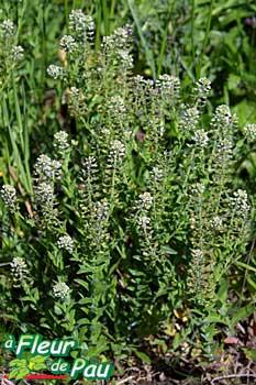 Des vertus des plantes par Macer Floridus, 1832 1