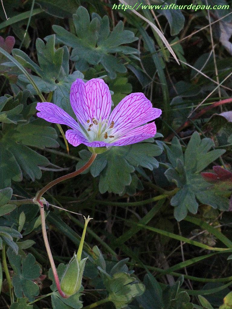 G ranium feuilles cendres ou g ranium cendr geranium cinereum - Geranium feuilles qui jaunissent ...