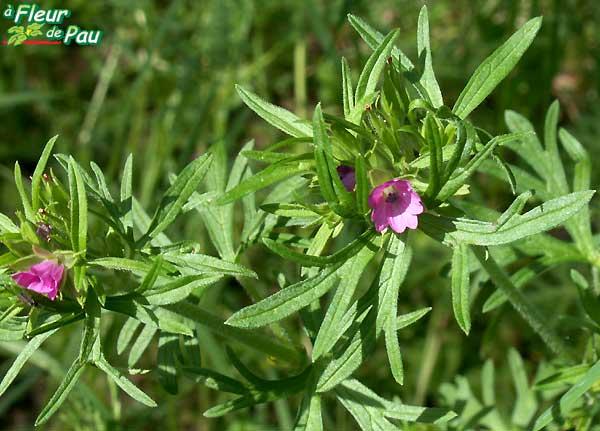 Granium dcoup ou granium feuilles dcoupes geranium dissectum - Geranium feuilles qui jaunissent ...