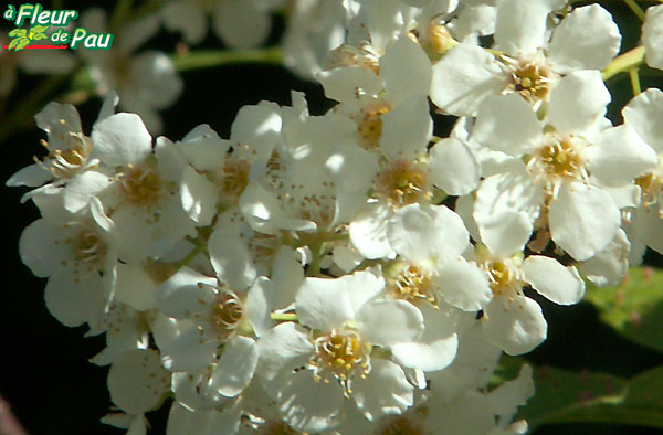 Cerisier Bois Puant : Bois-puant ou Cerisier putiet ou Faux Bois de sainte Lucie ou Putet ou
