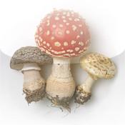 Les champignons de roger phillips - Application pour reconnaitre les champignons ...
